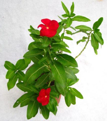 Растение, требующее обрезки