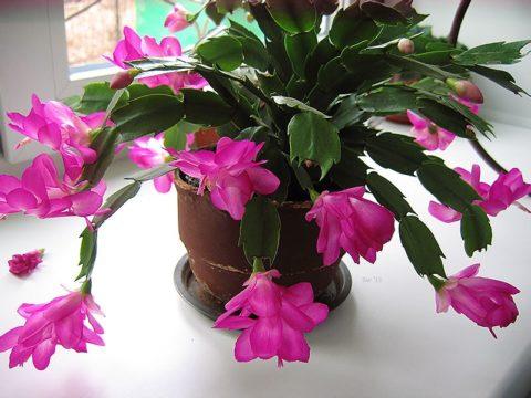 Нежный цветок зимы