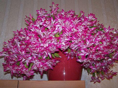 Цветение зигокактуса при уходе