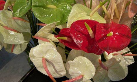 Антуриум – экзотическое тропическое растение