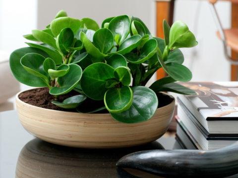 Пеперомия – растение с хорошей энергетикой