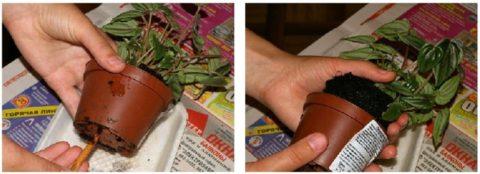 Пересаживают растение, когда из дренажных отверстий начинают выглядывать корешки