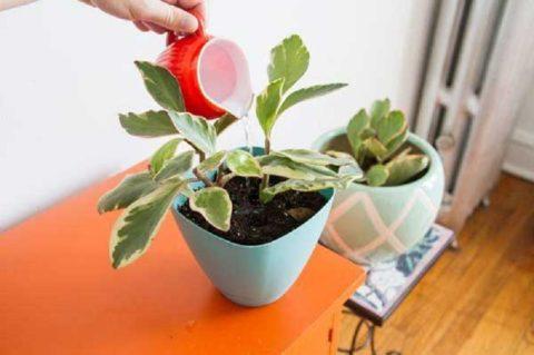 Растение требует регулярного, но умеренного полива