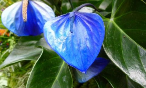 Синяя Алексия