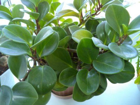 Сорт с однотонными зелеными листьями