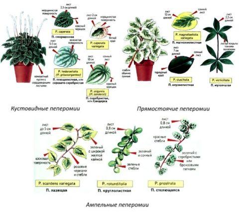 Три основные группы пеперомии