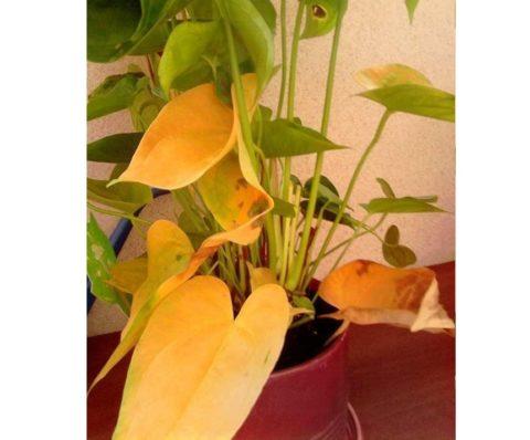 У стареющего растения начинают сохнуть нижние листья