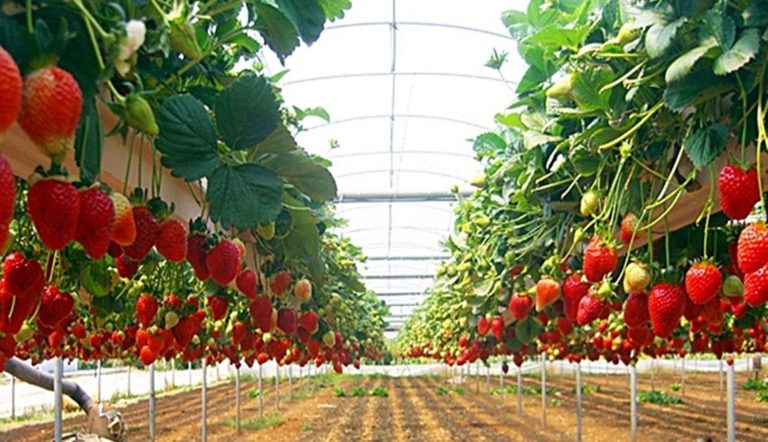 Условия для выращивания клубники 55