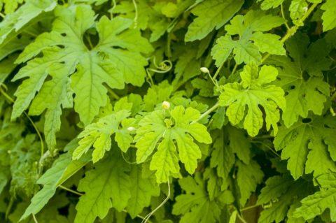Благодаря ажурной листве, растение выглядит декоративно даже без цветов и плодов