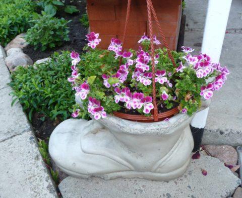 Летом комнатная герань отлично чувствует себя на открытом воздухе, её можно высаживать прямо в грунт