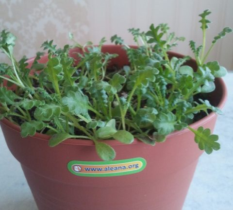 Немофилу можно выращивать в горшках как балконную культуру
