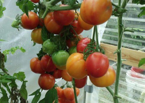 Обильный урожай несколько раз в году – мечта любого огородника