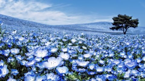 Парк Хитачи в Японии украшают миллионы немофил