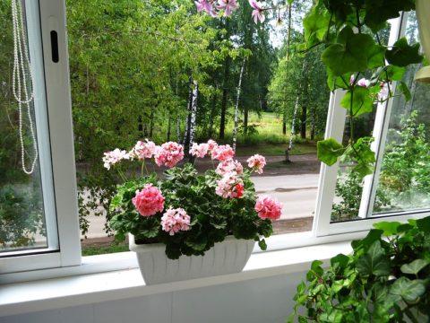 Пеларгония – светолюбивое растение