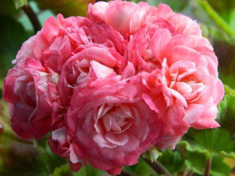 Пеларгония зональная розоцветная сорта Denise