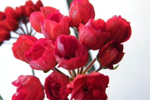 Пеларгония зональная тюльпановидная сорта Victoria Andrea