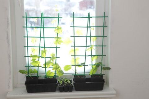 При выращивании дома позаботьтесь об установке шпалер