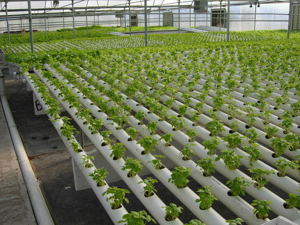 О выращивание укропа на гидропонике 17