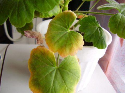 Растению не хватает воды