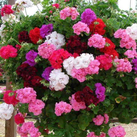 Роскошное цветение герани