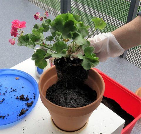 Старайтесь осуществлять пересадку, не оголяя корни растения