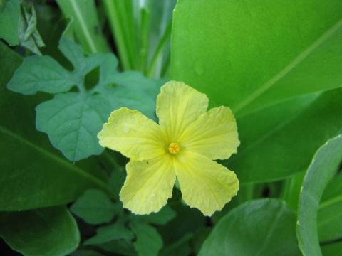 Цветок момордики