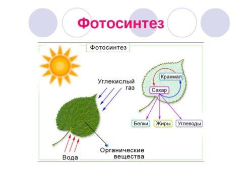 Углеводы в растениях образуются за счёт фотосинтеза