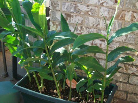 В большую емкость можно посадить несколько растений