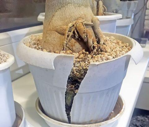 Активно растущие корни могут разрушить горшок
