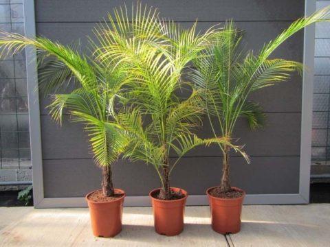 Ажурные домашние мини-пальмы