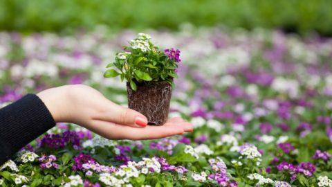 При пересадке важно не повредить корни растения
