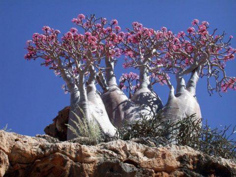 Пустынная роза в цвету