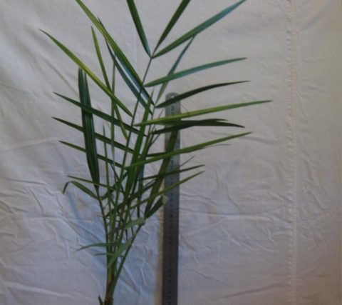Рассеченные листья у пальмы появляются только на 4-5 год жизни