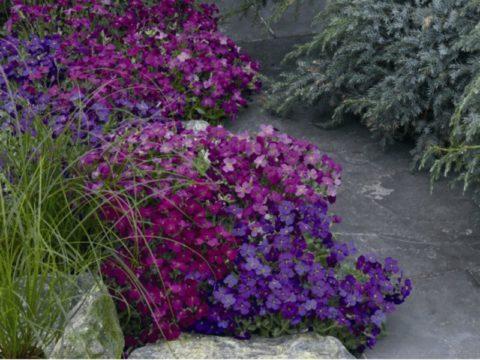 Самые распространенные оттенки – розовый и лиловый