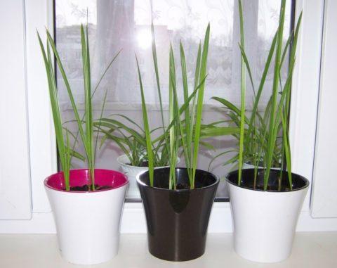 Свет и тепло – непременные условия для нормального развития финиковой пальмы