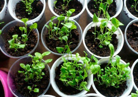 Так часто сеять не стоит – будет трудно пересадить сеянцы без повреждения корней