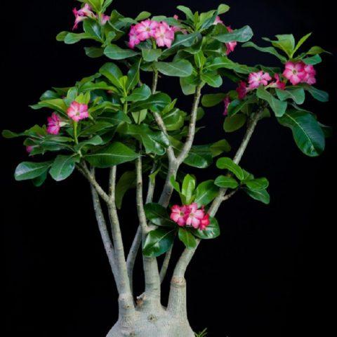 Цветение Adenium arabicum