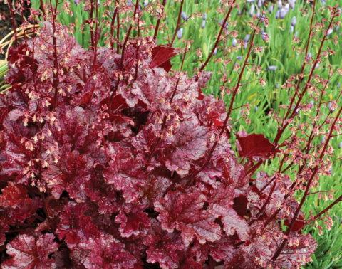 Гейхера ценится за красивую листву, поэтому невзрачные цветы можно обрезать