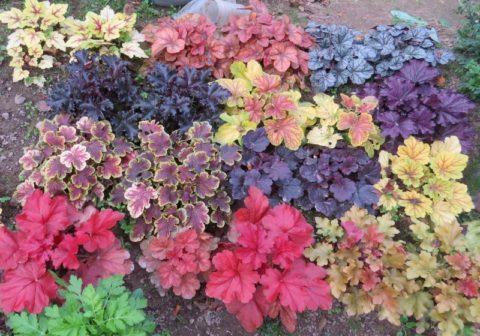 Разноцветные листья гейхеры