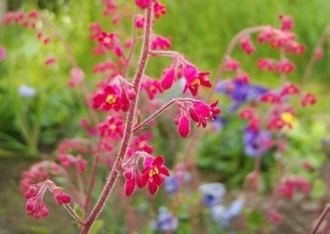 Цветы гейхеры