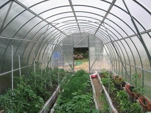 помидоры и огурцы в одной в теплице