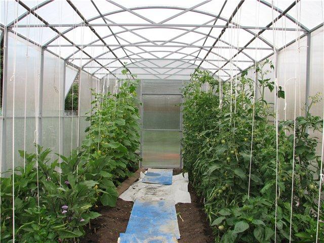 выращивание огурцов и помидоров в одной теплице