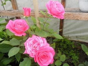 Цветущие в теплице розы