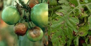 На фото – фитофтороз томатов, часто поражающий их из-за высокой влажности