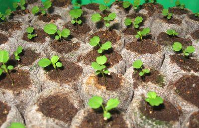 The photo shows that not all sprouted seeds