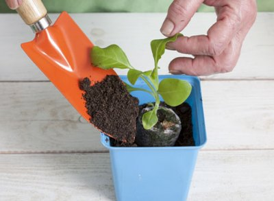 Transplantatioun seedlings an eenzelne Eemere