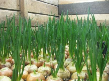 Как вырастить тепличный зеленый лук