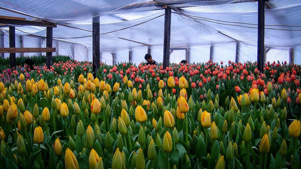Розницу, где купить букет тюльпанов для выгонки