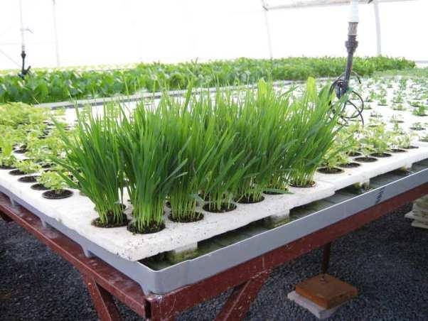 Выращивание зелени в парниках по особой технологии