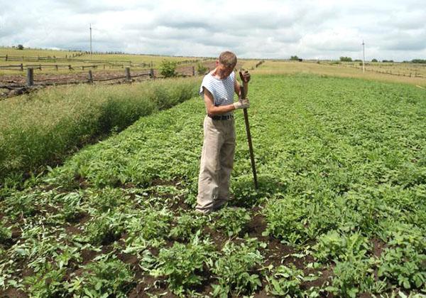 Популярность препарата среди садоводов и огородников объясняется тем, что он является экологически чистым средством